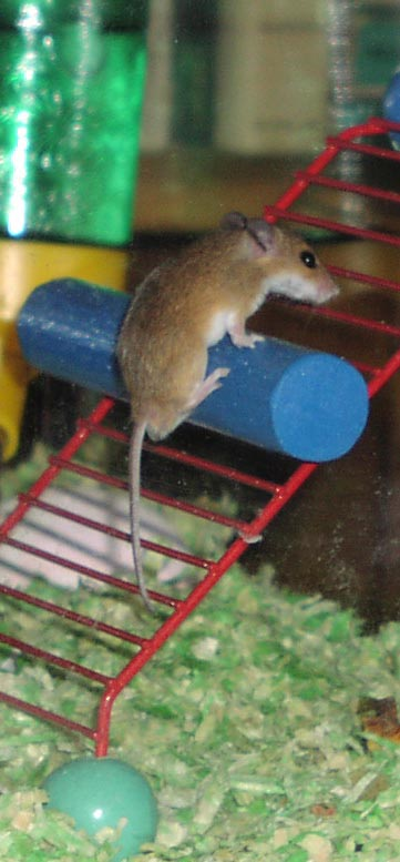 laddermouse.jpg